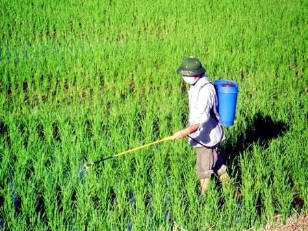 Kỹ thuật bón phân cho cây lúa